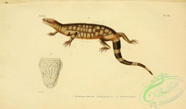 reptiles_and_amphibias-02269 - heloderme herisse