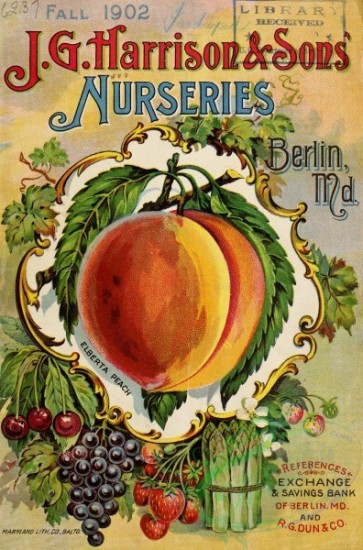 seeds_catalogs-00018 - 018-Peach, Grapes, Cherry, Strawberry [2854x4323]