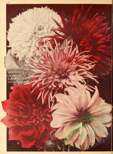 seeds_catalogs-00048 - 048-dahlias [2627x3578]