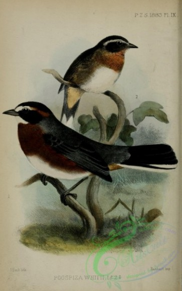 tanagers-00259 - Black-and-chestnut Warbling-Finch, poospiza whitii