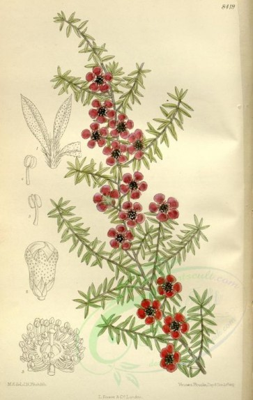 tea-00020 - 8419-leptospermum scoparium nichollii [2239x3534]