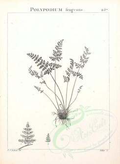 Redoute-00043 - polypodium fragrans [2304x3146]