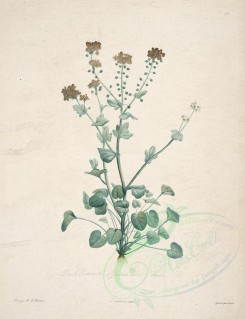 Redoute-00097 - cochlearia officinalis [4105x5345]