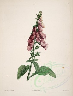 Redoute-00102 - digitalis purpurea [4105x5345]