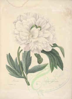 Redoute-00397 - paeonia officinalis [5340x7384]