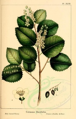 Redoute-00485 - Holly leaved Cherry, cerasus ilicifolia [2218x3442]