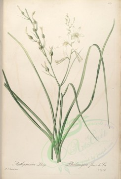 Redoute-01055 - anthericum liliago [4279x6340]