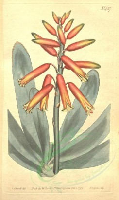 aloe-00004 - 457-aloe plicatilis, Fan Aloe [1924x3225]