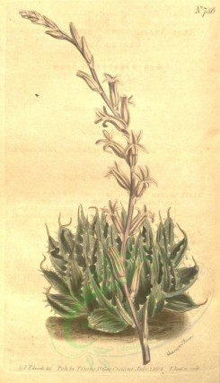 aloe-00007 - 756-aloe arachnoides, Spider-footed-leaved Aloe [1856x3227]