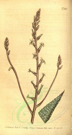 aloe-00012 - 815-aloe margaritifera media, Middle-sized Pearl-leaved Aloe [1820x3413]