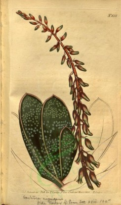 aloe-00015 - 838-aloe lingua crassifolia, Thick-leaved Tongue Aloe [2010x3391]