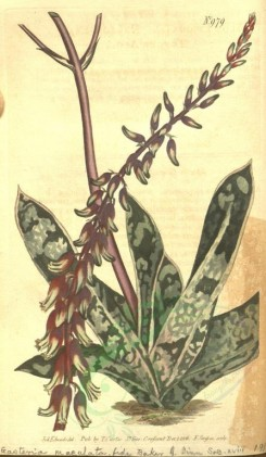 aloe-00016 - 979-aloe lingua, Narrow-leaved Tongue Aloe [1900x3260]