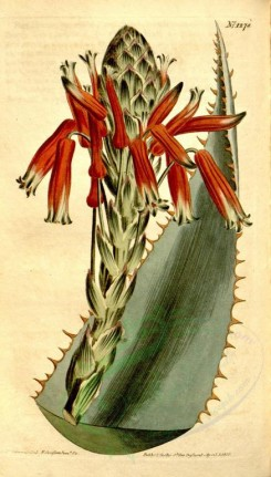 aloe-00018 - 1278-aloe rhodacantha, Red-spined Glaucous Aloe [1872x3285]