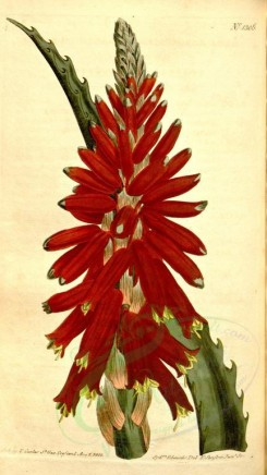 aloe-00019 - 1306-aloe arborescens, Narrow-leaved Sword-Aloe [1844x3273]