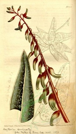 aloe-00023 - 1331-aloe carinata, Keel-leaved Aloe [1923x3361]