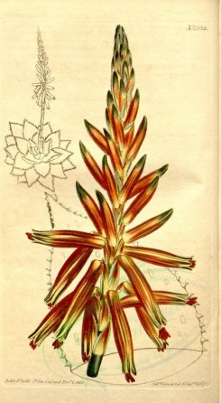 aloe-00024 - 1332-aloe depressa, Short-leaved Perfoliate Aloe [1853x3367]