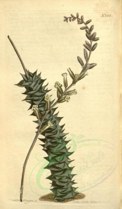 aloe-00029 - 1352-aloe foliolosa, Small-leaved Aloe [1909x3272]