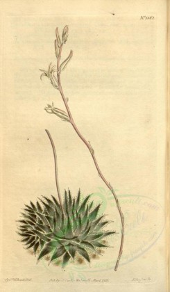 aloe-00034 - 1361-aloe arachnoides pumila, Dark-leaved Spider-Aloe [1910x3272]