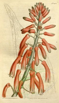 aloe-00036 - 1415-aloe serrulata, Saw-leaved Aloe [1858x3225]