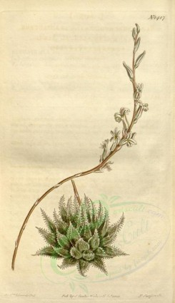 aloe-00037 - 1417-aloe arachnoides translucens, Transparent-leaved Aloe [1861x3225]