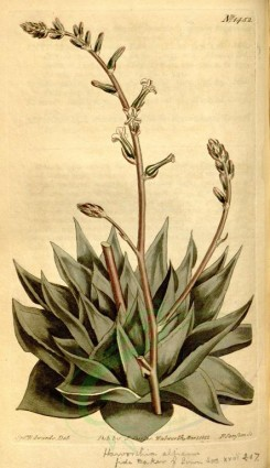 aloe-00038 - 1452-aloe albicans, Hard-leaved Aloe [1951x3375]