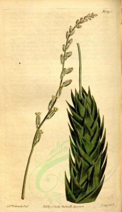 aloe-00039 - 1455-aloe spiralis, Rough-flowered Aloe [1958x3375]