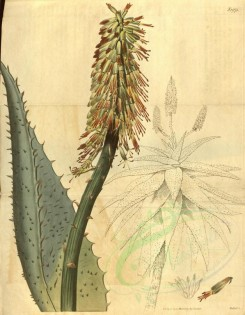 aloe-00043 - 1975-aloe ferox, Great Hedgehog Aloe [3402x4371]