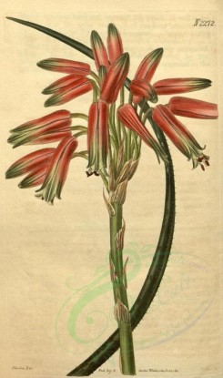 aloe-00044 - 2272-aloe microcantha, Small-spined Aloe [1907x3228]