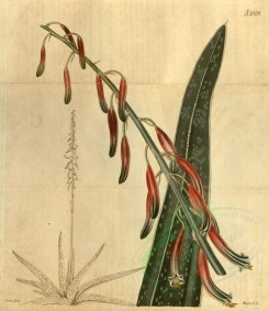 aloe-00046 - 2369-aloe acinacifolia, Great scymitar-leaved Aloe [3207x3705]