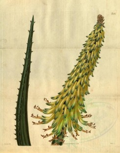 aloe-00047 - 2517-aloe africana angustior, Narrower Sword-leaved Aloe [3253x4123]