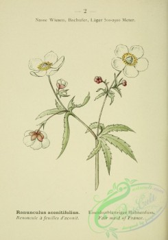 alpine_plants-00485 - 003-Fair maid of France, ranunculus aconitifolius