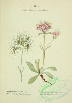 alpine_plants-00544 - 062-Willow-leaved Valerian, valeriana saliunca