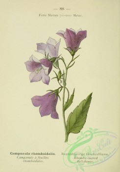 alpine_plants-00571 - 089-Rhombic-leaved Bell-flower, campanula rhomboidalis