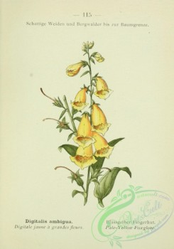 alpine_plants-00598 - 116-Pale-Yellow Foxglove, digitalis ambigua