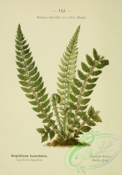 alpine_plants-00625 - 143-Holly-fern, aspidium lonchitis