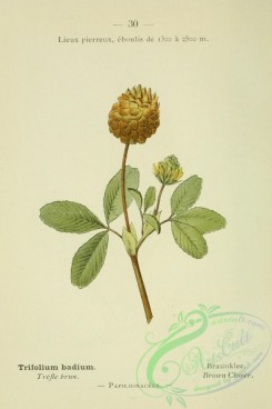 alpine_plants-00657 - 031-Brown Clover, trifolium badium