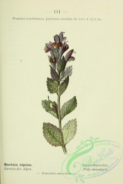 alpine_plants-00738 - 112-Poly-mountain, bartsia alpina