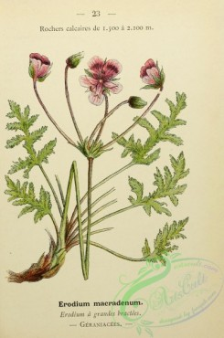 alpine_plants-00856 - 023-erodium macradenum