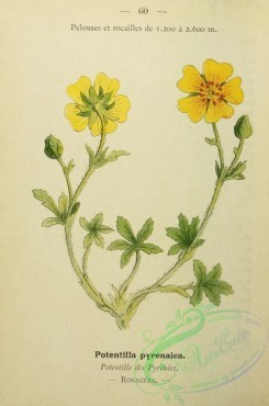 alpine_plants-00893 - 060-potentilla pyrenaica