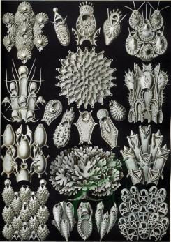 animals_collages-00024 - Bryozoa_33 [2332x3293]