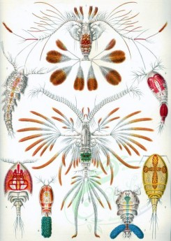 animals_collages-00036 - Copepoda [2393x3363]