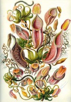 animals_collages-00078 - Nepenthaceae [2344x3360]