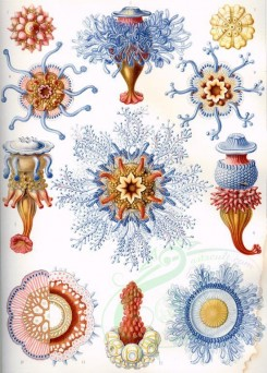 animals_collages-00097 - Siphonophorae [2318x3234]