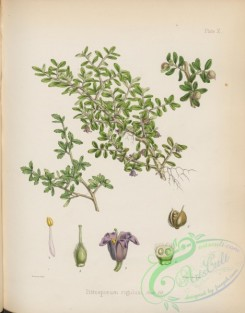 antarctic_plants-00048 - pittosporum rigidum