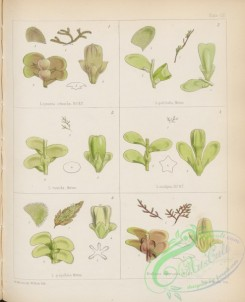 antarctic_plants-00078 - frullama