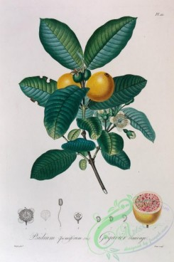 antilles_flora-00097 - 022-psidium pomiferum