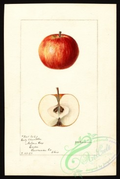 apple-00459 - 0204-Malus domestica-Early Chandler [2682x4000]