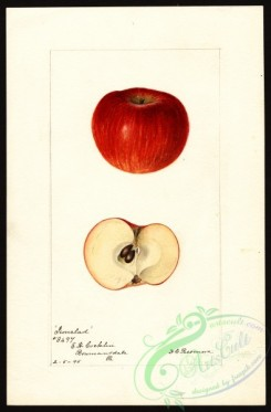 apple-00627 - 0410-Malus domestica-Ironclad [2630x4000]