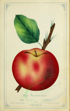 apples-00193 - Apple - Red Astrachan [2716x4297]