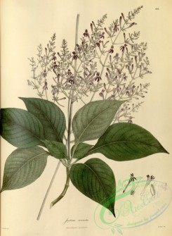 asian_plants-00066 - justicia venusta